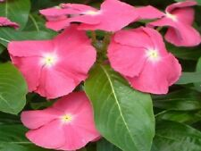 Vinca Seeds Sunsplash Deep Pink 50 Seeds