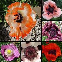 200+ Samen Türkischer Mohn Mix - Papaver orientale - winterhart - Poppy seeds