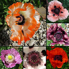 200+ Samen Türkischer Mohn Mix - Papaver orientale - winterhart - Poppy seeds