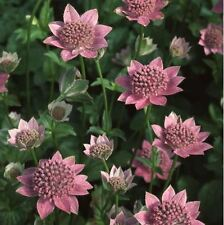 Flower - Astrantia maxima - 50 Seeds