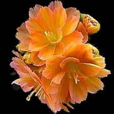 20 Lewisia cotyledon 'praline'. wide orange Color range,Great In Containers