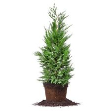 Leyland Cypress, Live Plant, Size: 3-4 ft.
