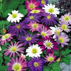 50 Anemone Blanda Mixed Colours, Daisy Like Flowers Perennial Garden Bulbs Corms