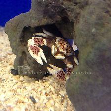 OSHIMAI PORCELAIN ANEMONE CRAB (Neopetrolisthes oshimai) marine aquarium (Essex)