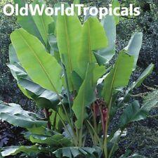 Musa Basjoo Banana Trees Live Cold Hardy Tropical Plant