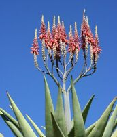 Aloe littoralis @@ exotic succulent rare cactus seed garden plant agave 30 SEEDS