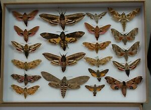 Nice box of Hawk moths