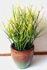 3 graines de PLANTE CRAYON (Euphorbia Tirucalli)H428 PENCIL PLANT SEEDS SAMEN