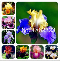 Iris Flowers Orchid Bonsai 100 Pcs Seeds Rare Heirloom Perennial Plants Garden S