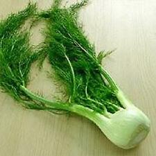 SWEET FLORENCE FENNEL Herb Vegetable Seeds