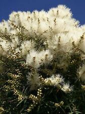 Diese ungewöhnlichen, buschigen Blüten muß man haben: der schöne Teebaum.