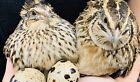 12+ Jumbo Pharaoh Coturnix Quail Hatching Eggs