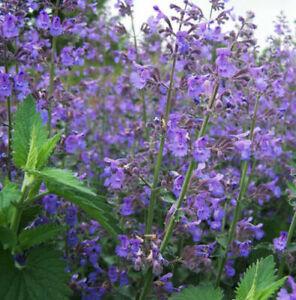 Catnip, Catmint, Cat Grass, 100+ seeds, UK SELLER, NEPETA CATARIA, NEXT DAY DESP