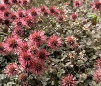 NEW ZEALAND BURR BRONZE Acaena Microphylla - 250 Bulk Seeds