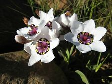 Beautiful White Sparaxis Tricolor Flower Seeds 100 SEEDS