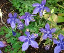 Aquilegia 'Electric Blue' ***Special offer*** x50 fresh 2018 seeds