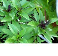 Basil, Thai Basil Herb Seeds - Fresh and Non GMO
