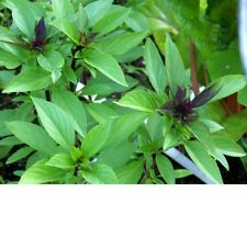 Basil, Thai Basil Herb Seeds - Fresh and Non GMO