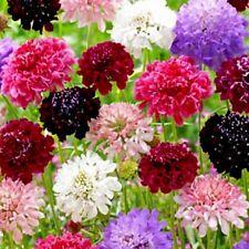 Escabiosa Alta Surtido - 200 Semillas - Leucospermum Flor