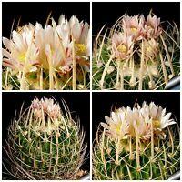 10 Samen der Echinofossulocactus  guerraianus, Sukkulenten, seeds succulents G