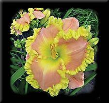 Daylily Seeds (Elvis x Castle Rock) (6) Seeds