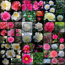 7 Mixed Camellia Garden Plants Shade/Sun Hedge Screen Japonica Sasanqua Flowers