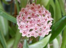 Bouture Cutting HOYA cv Minibelle floraison parfumée (H.carnosa x H. sheperdii)