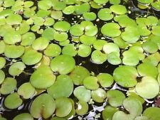Amazon Frogbit x5 Healthy Plants Great companion to any aquarium