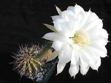 Echinopsis silvestrii, rare lobivia cactus chamaecereus succulent seed -20 SEEDS