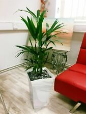 1 Large Kentia Palm House Floor Plant in Gloss White Milano Pot 90 - 100cm Tall