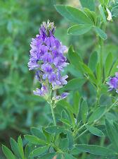 Alfalfa Grass Seeds - Perennial Grass - Organic Crop - theseedhouse - 2000 Seeds