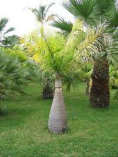 10 Graines Hyophorbe Lagenicaulis Palmier Bouteille