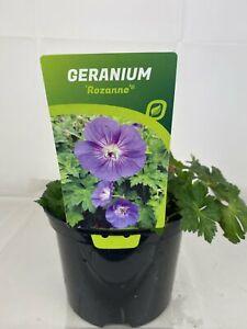 Geranium Rozanne 2L Pot