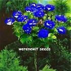 20 xHYBRID BLUE STUMPS ROSE TREE SEEDS(POLYANTHA)FREE POST,FREE GIFT,AUST SELLER