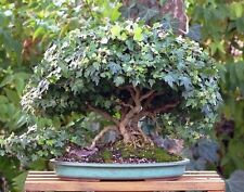 5 X English Ivy Hedera helix bonsai trees best offer