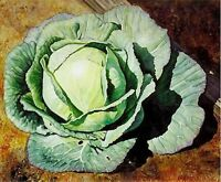 Cabbage- Early Jersey- 200 Seeds -  50% off sale