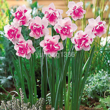 1 Pack Narcissus Duo Bulbs Daffodil Plant Flower Seeds Scented Pastel New UK