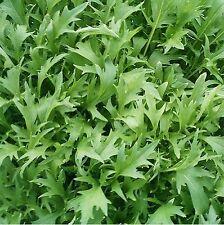300 Graines non traitées de Mizuna Salade japonaise type roquette mesclun