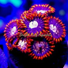 New listing Bright Reef Aquatics - Wysiwyg Fire Cracker Zoanthid Live Coral Frag Polyps