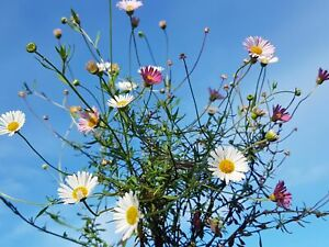 Erigeron Karvinskianus -Easy Alpine Daisy Rock Garden Perennial Plant in 9cm Pot