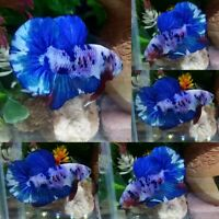 Blue Purple Halfmoon Plakat Male - IMPORT LIVE BETTA FISH FROM THAILAND