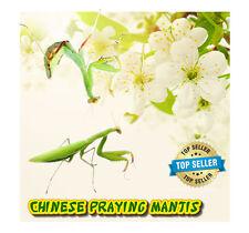 Chinese Praying Mantis (LIVE) + FREE Fruit Flies & Kit (Educational)