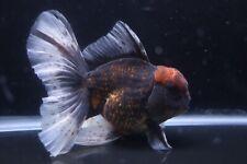 New listing Live High Quality Tiger Rosetail Oranda Fancy Goldfish #8 +Video In Description