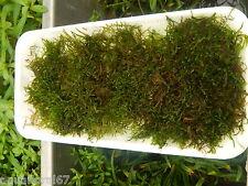 java-moss Vesicularia dubyana 1 barquette xxl