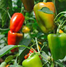 MIXED BELL PEPPER HEIRLOOM PEPPERS, ORGANIC 100 SEEDS UKgrown 2017 stock