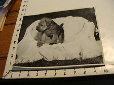 Vintage B & W photo: Single Adorable Soft Coated Wheaten Terrier Pup