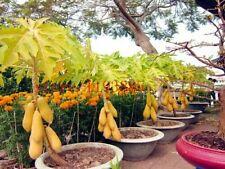 10 Seeds Thailand Dwarf Golden Long Bonsai Papaya Fruit Seed High Growing Papaya