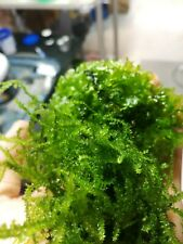 Mini taiwan moss and subwasertang-Pelia, live aquarium plant, Two bags,