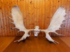 Moose Elk Antler-20,5 kg Taxidermy-Deer Antler-Large Antler