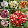 GX- 300Pcs Mixed Color Flower Hoya Seeds Ball Orchid Home Garden Balcony Decor E
